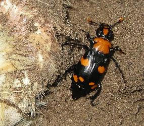 The American Burying Beetle and the ESA