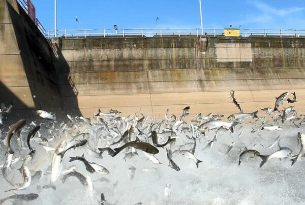 Asian carp jumping from the water at Barkley Dam. Photo courtesy of Kentucky Department of Fish and Wildlife Resources.